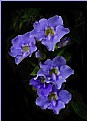 Picture Title - Blue Sky Vine