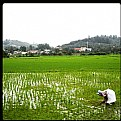 Picture Title - Rice