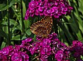 Picture Title -  sweet william butterfly