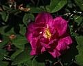 Picture Title - garden rugosa