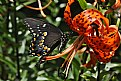Picture Title - swallowtail and tiger lily