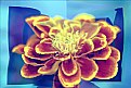 Picture Title - Dwarf French Marigold