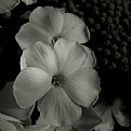 Picture Title - phlox