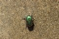 """Picture Title - """"Japanese Beetle"""""""