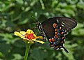zinnia and black swallowtail