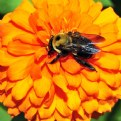 Picture Title - Zinnia and bumble bee