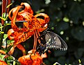 Picture Title - black swallowtail- tiger lily