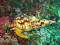 Picture Title - Charonia tritonis