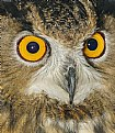Picture Title - Owl Eyes