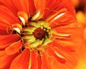 Picture Title - Zinnia flower macro