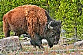 Picture Title - America Bison in Yellowstone