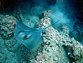 Picture Title - sting ray