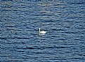 Picture Title - Distant Swan
