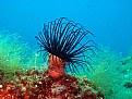 Picture Title - black anemon