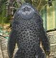 Picture Title - Plecostomus