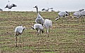 Picture Title - Gray Cranes. Early in the morning.