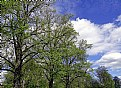 Picture Title - Spring Trees