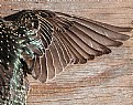 Picture Title - Starling Wing