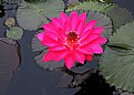 Picture Title - Lilly Pad