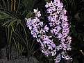 Picture Title - Orchid Butterflys