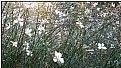 Picture Title - little white flowers 3