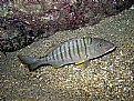 Lithognathus mormyrus
