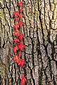 Picture Title - red vine