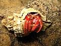 Picture Title - Dardanus calidus