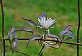 Picture Title - clematis- last effort