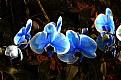 Picture Title - Blue Orchids