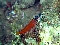 Picture Title - tripterygion tripteronotus