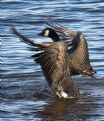 Picture Title - Canada Geese