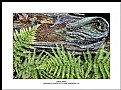 Picture Title - Spring Ferns