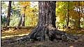 Picture Title - fir-trunk in fall