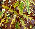 Picture Title - Oak Leaf