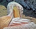 Picture Title - Pelican