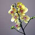 Picture Title - yellow orchid