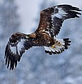 Picture Title - Golden eagle in snowfall