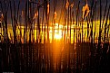 Picture Title - Golden Reed Sunset