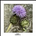 Picture Title - Thistle