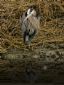Picture Title - Great Heron