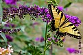 Picture Title - Tiger Swallowtail Beauty