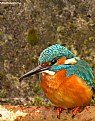 Picture Title - Kingfisher