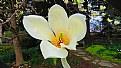 Picture Title - Garden Magnolia