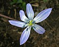 Picture Title - Squill