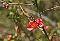 Picture Title -  wild quince - on time