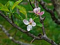 Picture Title - apple blosson pink