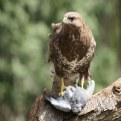 Picture Title - Bird Of Prey