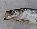 Picture Title - Herring