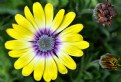 Picture Title - African Daisy